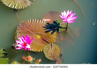 nymphaea blossom on Bali