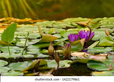 Nymphaea caerulea, known primarily as blue lotus or blue Egyptian lotus, but also blue water lily and sacred blue lily.