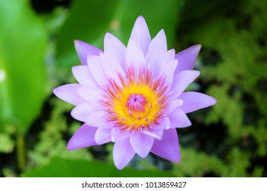 Nymphaea lotus Linn. is a family of flowering plants, commonly called water lilies. Lotus flower is a very familiar Thai people. It is used to worship the priest regularly. Purple lotus.