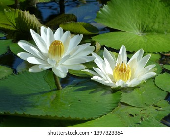 Nymphaea lotus, the white Egyptian lotus, tiger lotus, white lotus or Egyptian white water-lily, is a flowering plant of the family Nymphaeaceae.