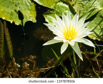 Nymphaea nouchali or white water-lily flower in pond