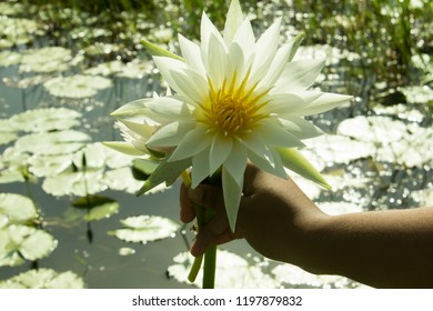 Nymphaea nouchali or white water-lily flower in hand