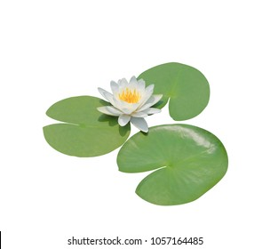 Nymphaea sp. and hybrid, Nymphaeaceae, Hardy water-lily, White lotus flower isolated on white background. with clipping path