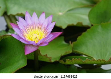 Nymphaea stellata, Nymphaea nouchali,  blue lotus, star lotus , red and blue water lily, blue star water lily, manel flower