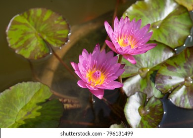 Pink Water Lily Flower Green Leaves Stock Photo (Edit Now) 544022248