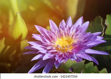 Nymphaea stllata Willclenow, Purple lotus at sunrise in pond