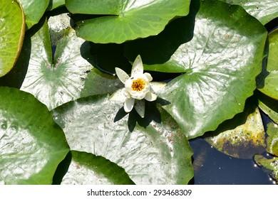 Nymphaea tetragona