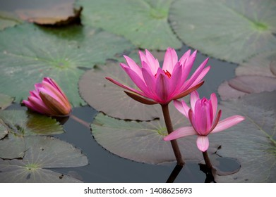 the nymphaea violet in garden, pagoda