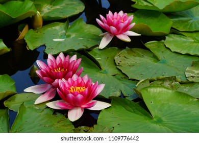 Nymphaea ( water lilies) - waterlily , Aquatic vegetation, water plants