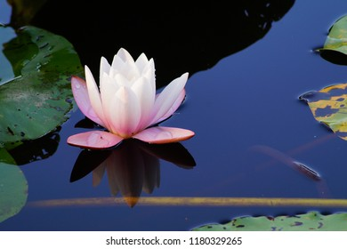 Nymphaea ( water lilies) - waterlily on the Japanese pond - Aquatic vegetation, water plants
