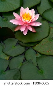 Nymphaea Water Lily Aquatic Plant