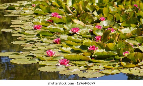 Nymphaea  - Water lily Nymphaea Attraction ( water lilies) - Aquatic vegetation, water plants