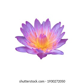 Nymphaea, Water lily, Lotus, the side of purple-pink lotus flowers isolated on white background with clipping path. Single head water lily flowers.