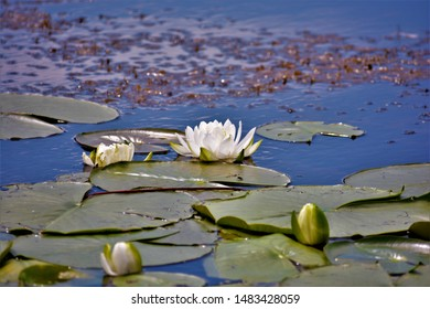 Nymphaeaceae is a family of flowering plants, commonly called water lilies. They live as rhizomatous aquatic herbs in temperate and tropical climates around the world.