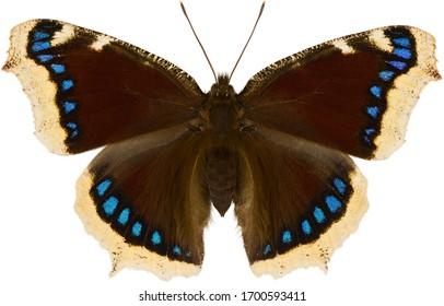 Le papillon antiopa nymphalis, connu sous le nom de cloak de deuil ou de beauté de Camberwell, est une espèce de papillon nymphalide. papillon isolé sur fond blanc, vue dorsale.