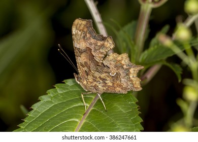 Nymphalis c-album, Polygonia c-album, Comma butterfly from Germany, Europe