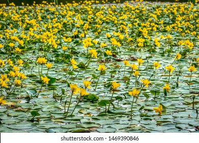 Nymphoides peltata is a fringed water lily, a yellow floating heart, a perennial aquatic plant with floating leaves and yellow flowers from the Menyanthaceae family.