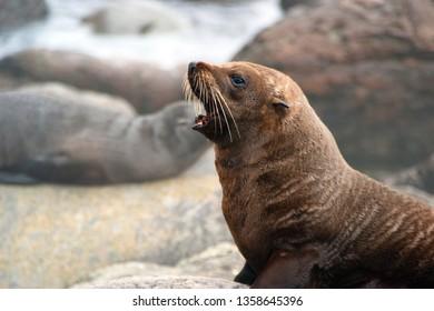 NZ Fur Seal (Kekeno) at Martins Bay colony, Fiordland coast