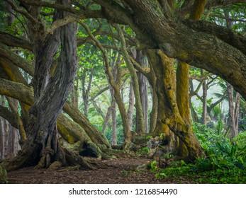 Oahu island trees, Hawaii