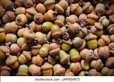 Oak acorns. Oak acorn texture. A lot of oak acorns. Top view from above.