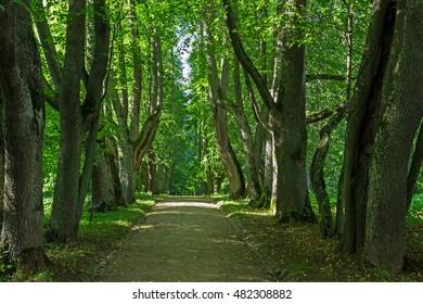 Oak alley summer landscape. Petrovskoye. Pskov region. Russia.