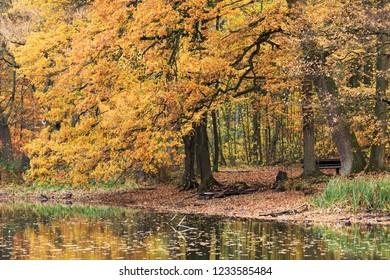 Oak in autumn foliage in a forest in Großhansdorf, Schleswig-Holstein, Germany. Autumn landscape. Forst Manhagen.