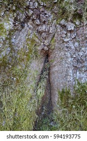Oak bark covered with green moss