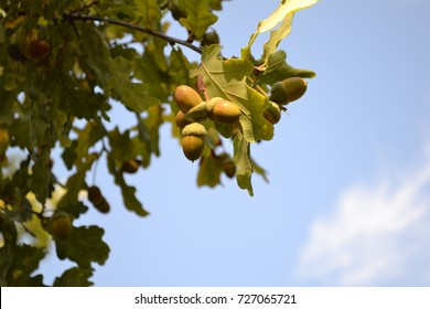 Oak branch with acorns on blue sky background