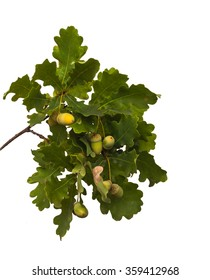 Oak branch with acorns on a white background isolation
