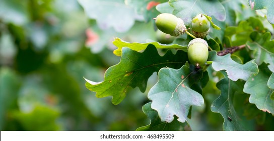 Oak branch with green acorns on a sunny day. Closeup.
