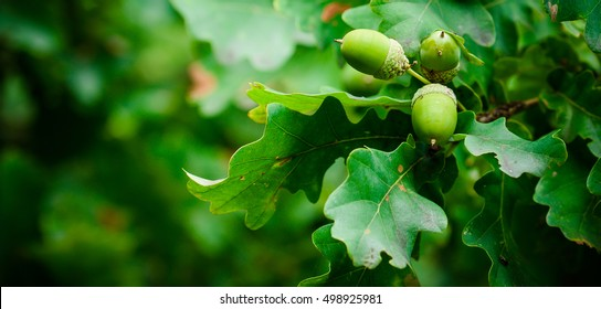 Oak branch with green leaves and acorns on a sunny day. Oak tree in summer. Blurred leaf background. Closeup.