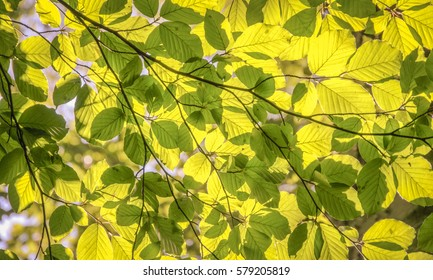 Oak Branch, illuminated by the sun with a bright green foliage