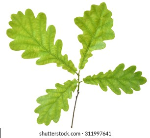 Oak branch isolated on white background