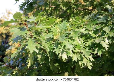 Oak branch marsh it is horizontal. Close up. Quercus palustris. Fagaceae Family.