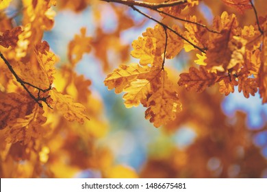 Oak branch with orange leaves in the forest in autumn. Nature background