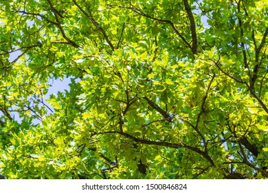 Oak branches foliage on sky background