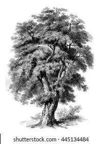 Oak cork of Spain, vintage engraved illustration. Magasin Pittoresque 1852.