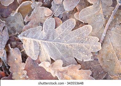 oak fallen leaves under hoarfrost