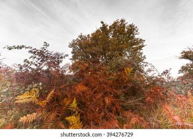 Oak and ferns in autumn