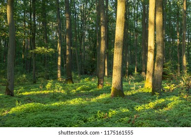 Oak forest is lit by the sun. Evening landscape with a forest and a tree brightly lit by the setting sun. Light and shade.