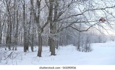 oak forest Winter trees in the snow nature landscape beautiful background