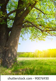 Oak with fresh green leaves on a bright spring meadow