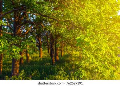 oak grove in a sunlight