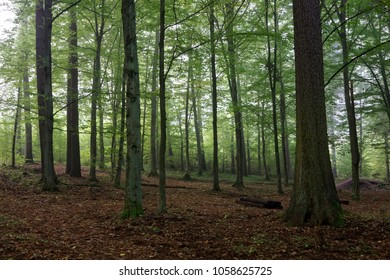 Oak and hornbeam trees against light of morning in late summer forest, Bialowieza Forest, Poland, Europe