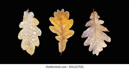 Oak leaf covered with hoarfrost isolated on black background. Close-up. Morning frost deposition, soft rime. Fall leaves of quercus robur or oak tree. Early frosts, freezing