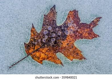 Oak leaf frozen in time