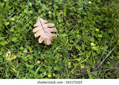 Oak leaf in the grass, horizontal composition.