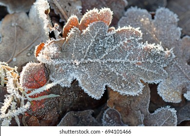 Oak leaf on a frosty morning
