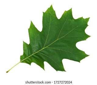 Oak Leaf (Quercus rubra) on white. This file is cleaned, retouched and contains clipping path.