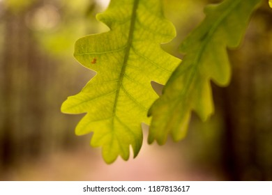 Oak leaf in sun light